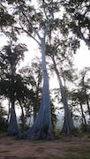 Giant Trees from East Lombok